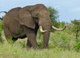 African Elephant (Loxodonta africana) coming too close (11492379736)