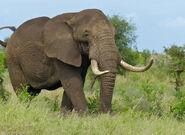 African Elephant (Loxodonta africana) coming too close (11492379736)
