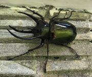 Atlas Beetle.jpg