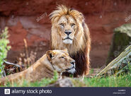 Barbary Lion and Lioness
