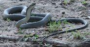 Biggest-Snakes -The-Black-Mamba