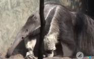 Buffalo Zoo Anteater