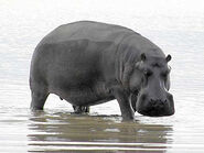 Cape Hippopotamus