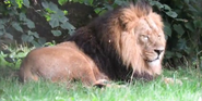 Chester Zoo Lion