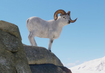 Dall-sheep-planet-zoo