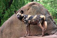 Dog, African Wild