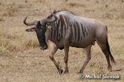 Eastern White-Bearded Wildebeest.jpg