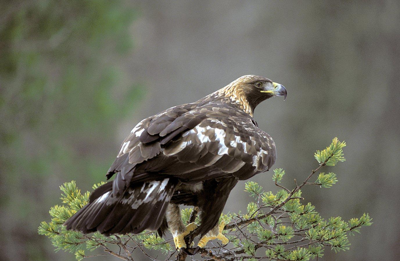 European Golden Eagle