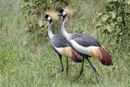 Male and Female Grey Crowned Cranes