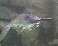 Paddlefish underwater