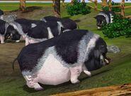 Pot-bellied-pig-wildlife-park-2