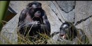 San Diego Zoo Bonobo