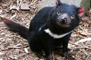 Tasmanian Devil (Animals)