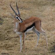 Thomson's Gazelle (V2)