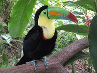 Toucan, Keel-Billed.jpg