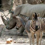 Two Zebras and One Rhinoceros