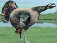 Wild turkey switch zoo