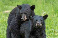 American Black Bear Boar and Sow