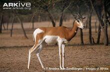 Dama-gazelle.jpg