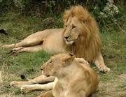 HugoSafari - Lion06.jpg