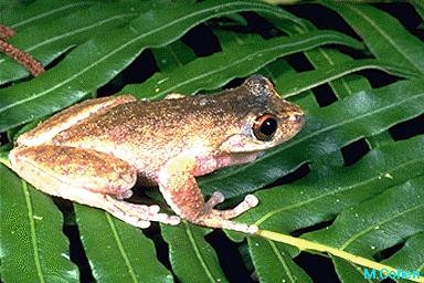 Mountain Mist Frog