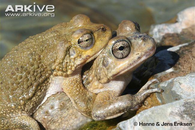 Arabian Toad