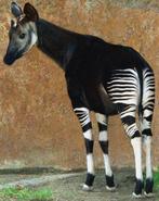 LA Zoo Okapi