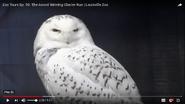 Louisville Zoo Snowy Owl
