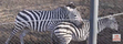 Milwaukee County Zoo Grant's Zebras