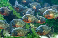 Red bellied piranha 7044 by jaded paladin