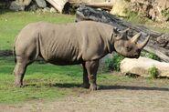 Rhinoceros, Eastern Black (V2)