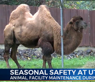 Utica Zoo Bactrian Camel (V2)