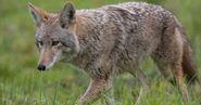Coyote (V3)