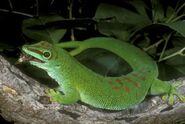 Gecko, Madagascar Day