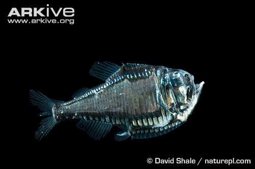 Giant Hatchetfish