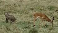 HugoSafari - Warthog&Impala