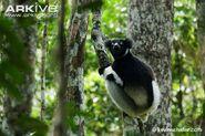 Indri-sitting-on-branch