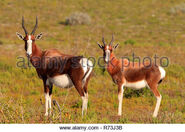 Male and Female Bonteboks