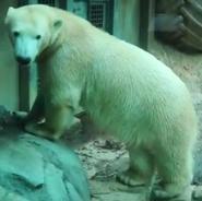 Maryland Zoo Polar Bear