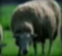 Sheep-disneythinkfast