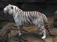 Tiger-Hybrid