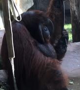 Toledo Zoo Orangutan