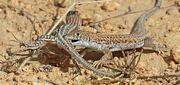 1024px-Bosc's fringe-toed lizards (Acanthodactylus boskianus asper) love bite.jpg
