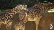 LA Zoo Giraffe