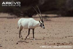 Male-Arabian-oryx-crossing-clearing.jpg