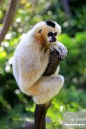 Northern White-Cheeked Gibbon