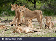 Pride of Transvaal Lions