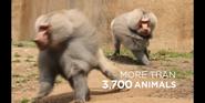 SDZ TV Series Baboons