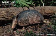 Side-profile-of-nine-banded-armadillo-