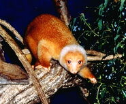 Spotted Cuscus, Common